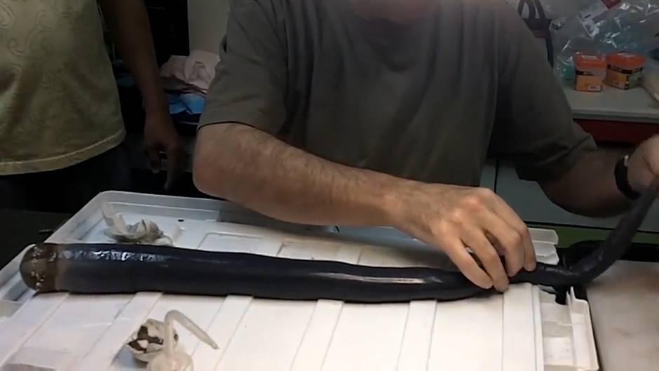 Eigentlich gar kein Wurm: Gruselige Urkreatur - Forscher finden ersten lebendigen Riesenholzbohrwurm