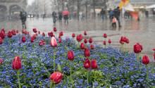 Wechselhaftes Wetter in Deutschland: Schneeflocken fegen im April in Stuttgart über ein Beet mit Tulpen hinweg