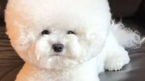 Süß und kugelig - kleiner Hund sieht aus wie Ball