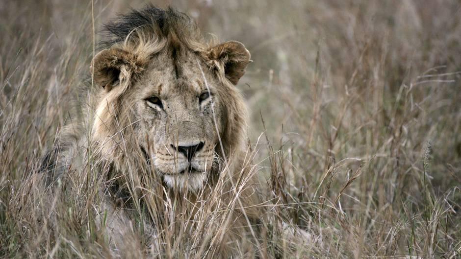Ein Löwe liegt im Gras.