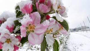 Auf Apfelblüten ist in Baden-Württemberg Schnee gefallen