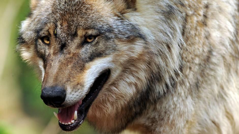 Ein Wolf schreitet mit offenem Maul durch den Wald