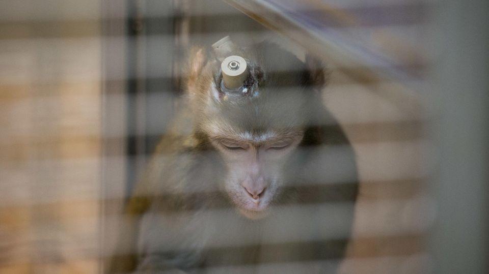 Rhesus-Affe mit Implantaten im Kopf