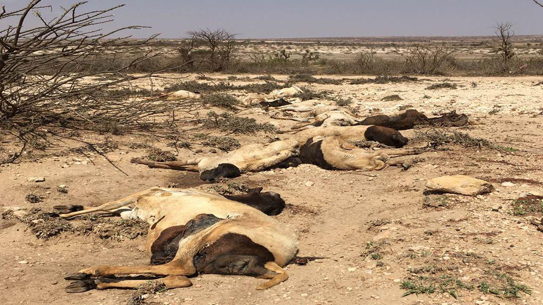 Totes Vieh in Somalia