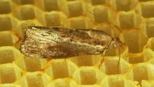Grosse Wachsmotte oder Bienenwolf (Galleria mellonella) auf Wabe.
