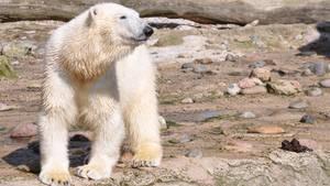Eisbärmädchen Lili hat sich mit ihrer Mutter zerstritten und soll jetzt umziehen.