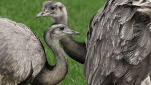 Europas einzige wilde Nandu-Population wächst