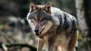 Dieser Wolf lebt in einem Gehege im Wildpark Schorfheide in Groß Schönebeck
