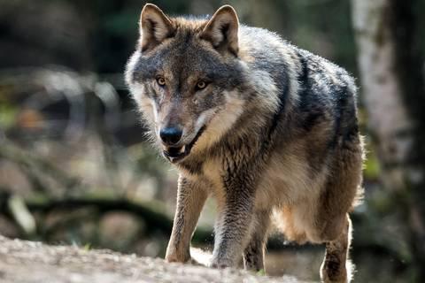 Über 100 Tiere: Der Wolf breitet sich in Deutschland rasant aus