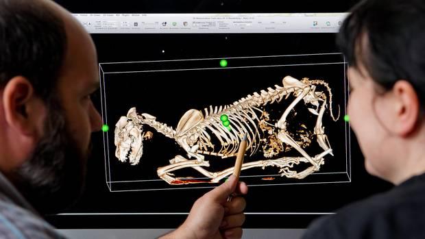 Ein Skelett eines toten Wolfs nach einem Verkehrsunfall
