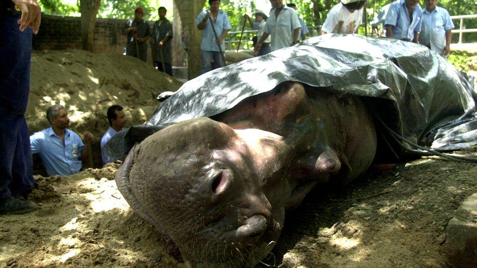 Die traurige Bilanz der letzten Wochen im Nationalen Zoo von El Salvador: Vier tote Tiere. das Nildpferd Gustavito war ein Publikumsmagnet.