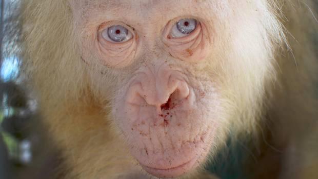 Auf Borneo wurde dieser seltene Orang-Utan entdeckt