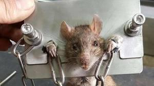 Eine Ratte wurde in Taiwan zwischen zwei Stahlbleche geklemmt