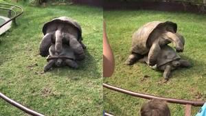 Schildkröten bei der Paarung