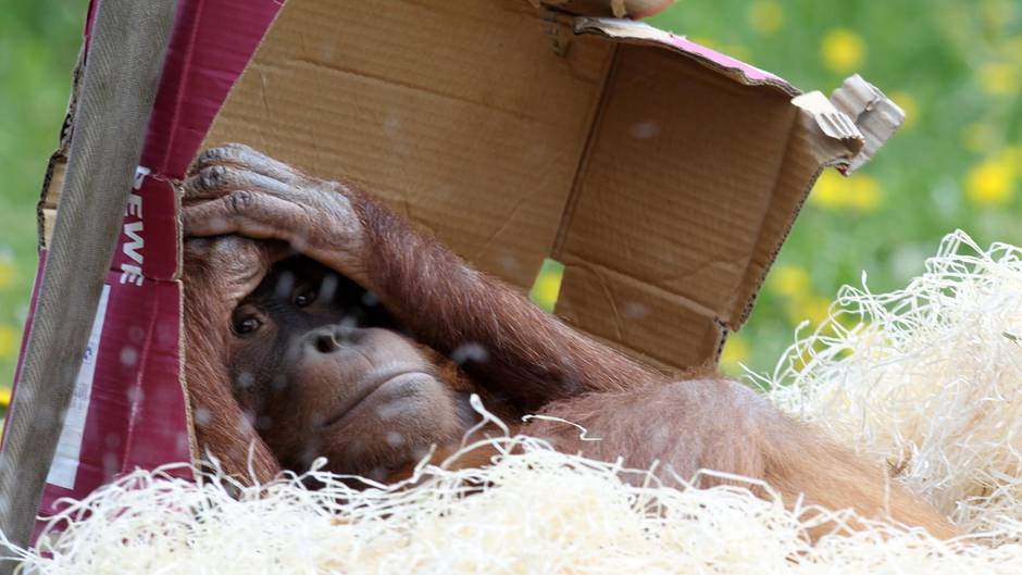 Ein Affe liegt unter einem Pappkarton