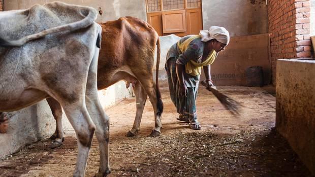 Heu gewordenes Tierparadies: Pflegestation für kranke Kühe bei Chandigarh