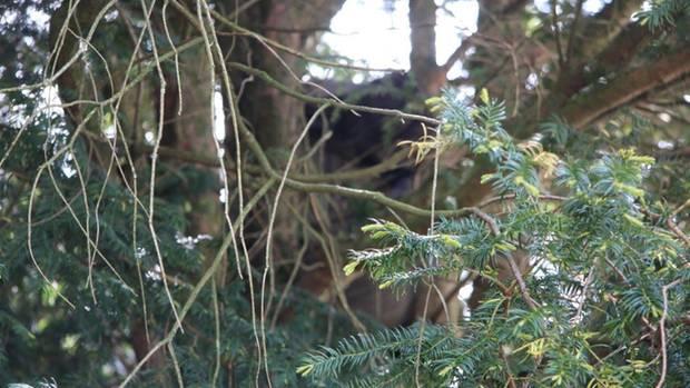In diesem Baum in Mönchengladbach steckte ein toter Mann wochenlang unentdeckt