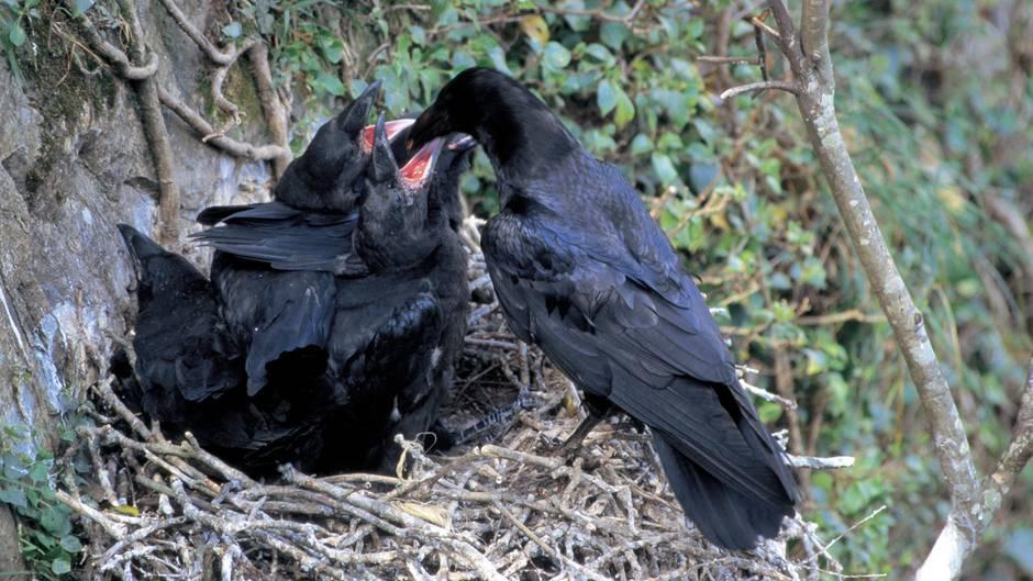 Rabenmutter füttert ihre Jungen