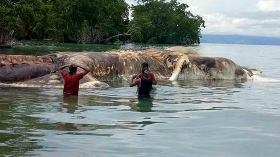 22-Meter-Kadaver in Indonesien: Forscher lösen Rätsel um angespültes Seeungeheuer