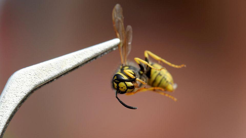 Es wird Sommer - und die Wespen sind zurück.
