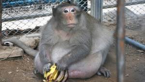 """Makake """"Uncle Fat"""" ist ein echtes Schwergewicht: Normalerweise wiegen Artgenossen nur um die neun Kilogramm. """"Uncle Fat"""" bringt es auf das dreifache Gewicht - nämlich 26 Kilogramm."""