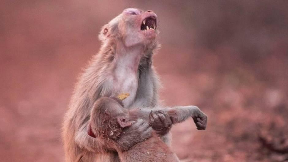Berührender Moment: Affenmutter trauert um ihr Junges - doch es gibt ein Happy End