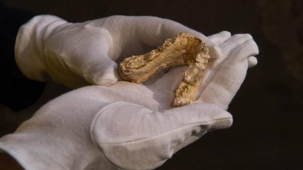 Der mehr als sieben Millionen Jahre alte Unterkiefer, gefunden in Europa