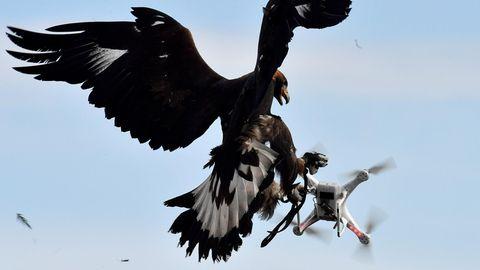 Ein Adler fängt eine Drohne