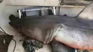 Australien: Ein 2,70 Meter langer Weißer Hai ist in ein kleines Fischerboot gesprungen