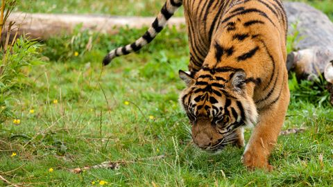 Ein Tiger, der herumschnüffelt, ob es am Parfümgeruch liegt?