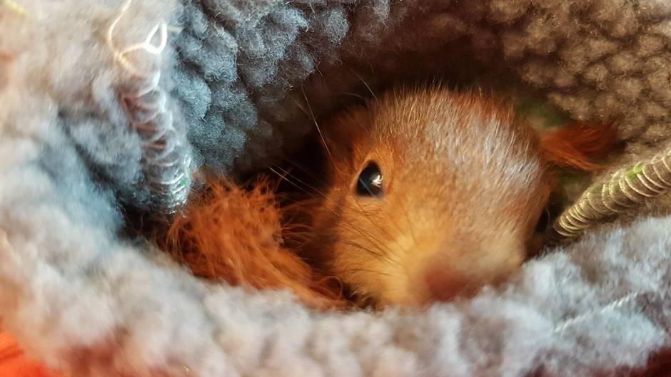 Eichhörnchen-Babys aufziehen - ein süßer Fulltime-Job