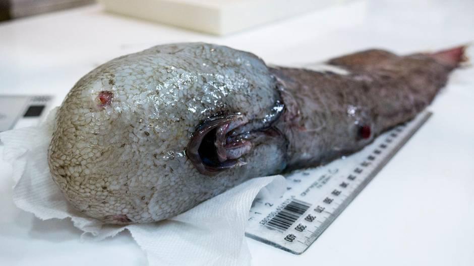 """Der """"Fisch ohne Gesicht"""" ist in der Nähe der Jarvis-Bucht in etwa 4000 Metern Tiefe entdeckt worden."""