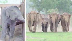 Thailand: Elefantenherde begrüßt Babyelefanten überschwänglich