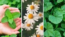 Melissenkraut, Kamillenblüten und Frauenmantelkraut sind bewährte Hausmittel gegen Regelbeschwerden