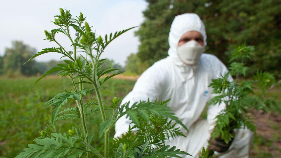 Ein Landwirt entfernt Beifuß-Ambrosiapflanzen.