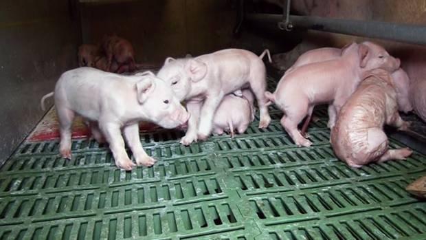 Schockbilder aus der Ferkelzucht: Die wenige Tage alten Tiere leiden unter Entzündungen, Fehlstellungen und verheerenden Zuständen in den Ställen.