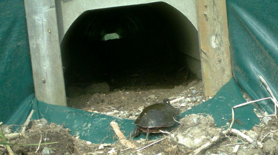 Eine Schildkröte kriecht zu einem Tunnel, der unter einem Highway in Ontario hindurchführt