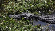 Ein Alligator im US-Staat Florida