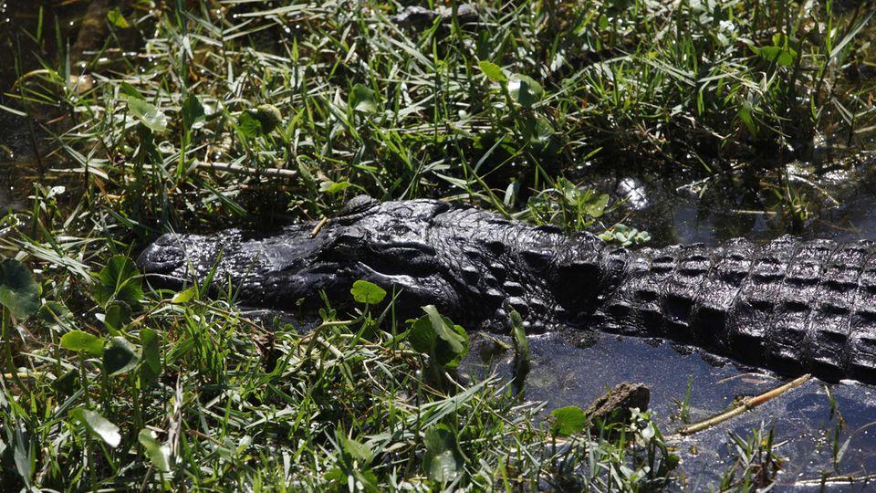 Ein Alligator im US-Staat Florida