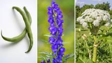 Giftpflanzen: Das sind die giftigsten Gewächse in Deutschlands Gärten
