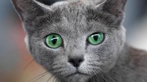 Eine graue Katze mit grünen Augen fixiert den Betrachter