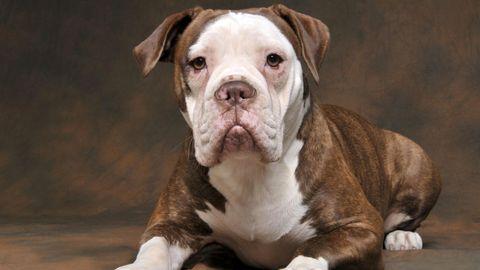 Ein Hund der Rasse Olde English Bulldog