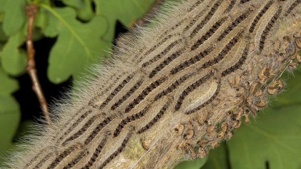 Eichenprozessionsspinner marschieren mit Einbruch der Dämmerung in langen Prozessionen aus ihren Gespinstnestern heraus und hinauf in die Äste der Eiche, um dort zu fressen