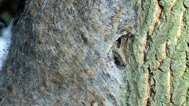 Raupennest am Baumstamm: In den Gespinstnestern häuten sich die Tiere und hinterlassen große Mengen an Brennhaaren.