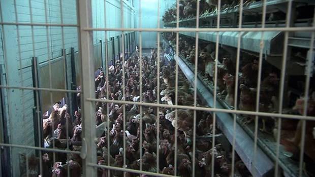 Dichtgedrängt und auf mehreren Etagen hocken die Hühner in einem Stall auf einer Hühnerfarm in Maarsbergen in den Niederlanden. Die Bio-Eier von Aldi Süd kommen von hier. So dürften sie eigentlich nicht als Bio verkauft werden.