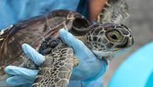 Durch einen Herpes-Virus erkranken immer mehr Schildkröten an der sogenannten Fibropapillomatose - den Tieren wachsen Tumore