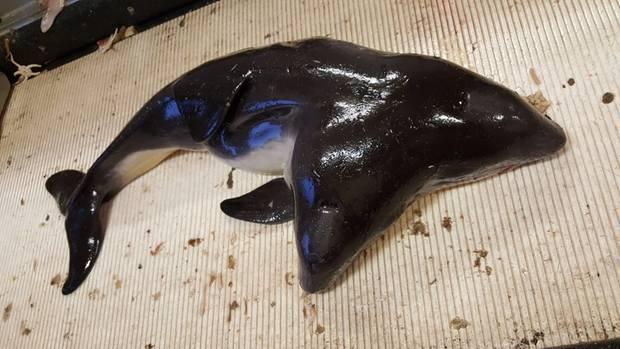 Fischer fangen zweiköpfigen Schweinswal