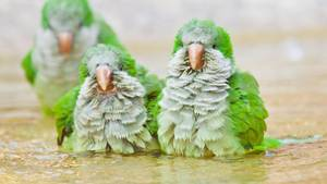 """""""Diese drei frechen Mönchssittiche sind mir in der nähe von Bergamo in Italien begegnet. Mit großem Vergnügen badeten sie in einer Pfütze – und spritzten sich sogar gegenseitig nass.""""      Mehr Fotos vonJearuin derVIEW Fotocommunity      Aktionen und Informationen aus der VIEW Fotocommunity aufFacebookoderTwitter"""