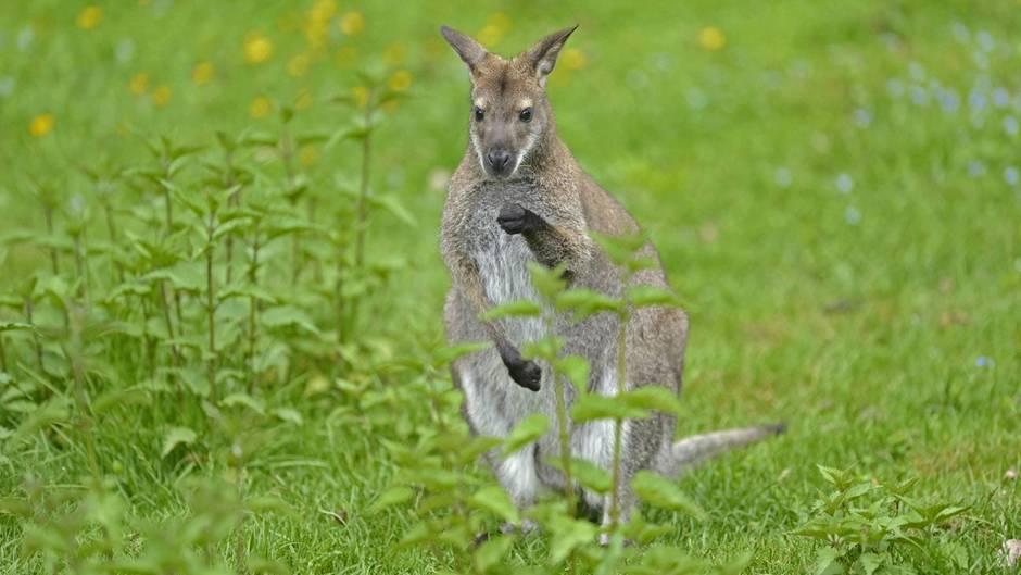 Sachdienliche Hinweise gesucht | Polizei fahndet nach Känguru
