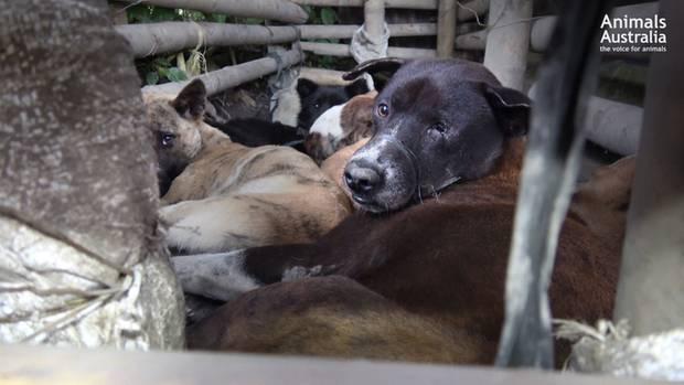 Gefangene Hunde warten auf ihre Schlachtung